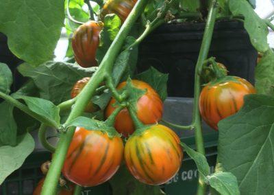 Tomates serre_1