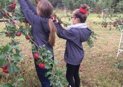 cueillette de pomme